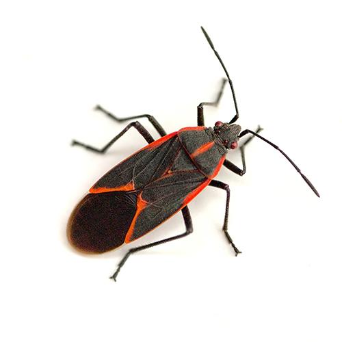 Eastern-boxelder-bug